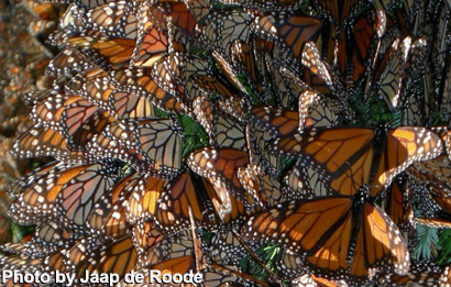 monarch butterflies wing morphology and migratory behaviour It is suggested that most migratory butterflies are  the evolution of wing color in colias butterflies  natal origins of migratory monarch butterflies at.