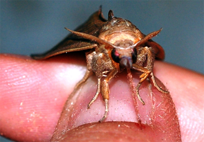 Calyptra-thalictri - Entomology Today
