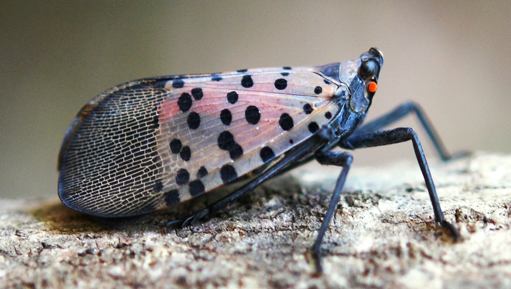 Spotted Lanternfly: States Urge Citizens to Report ...